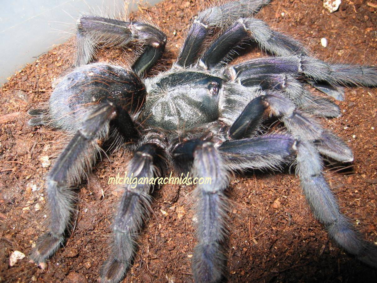 Lampropelma sp.Borneo Black